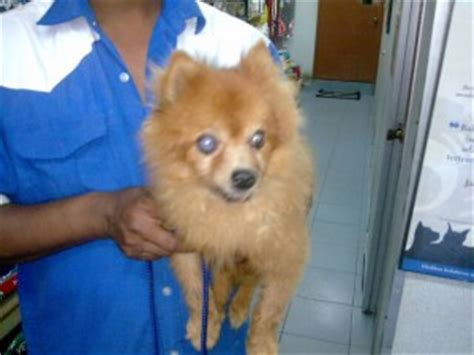pomeranian health problems top 5 pomeranian health issues pommy