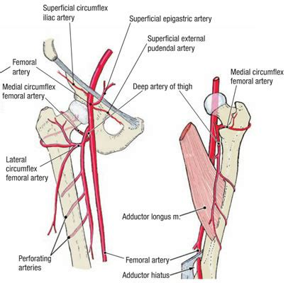 diagram of femoral artery femoral artery course branches clinical significance
