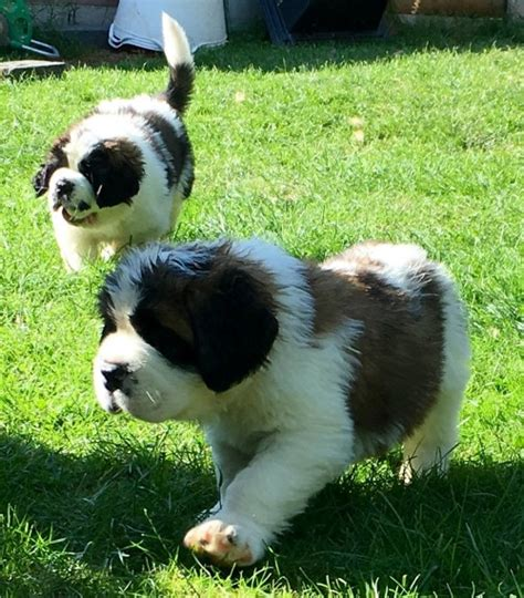 puppies for sale in port st bernard puppies for sale ogłoszenia strefa co uk