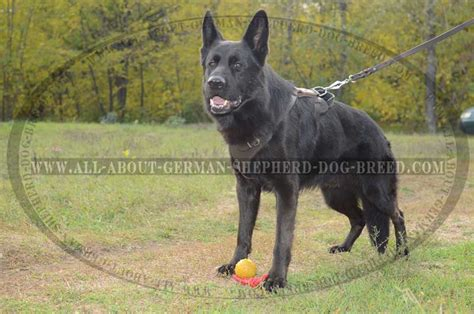 how to a german shepherd to attack german shepherd protection attack leather harness h1 1070