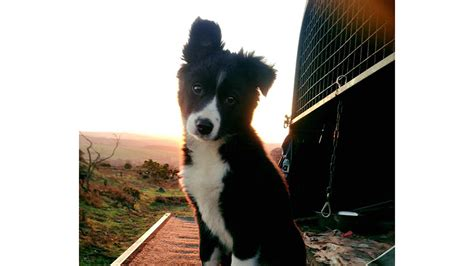 best farm dogs border collie puppy named the south west s best farm news farmers guardian