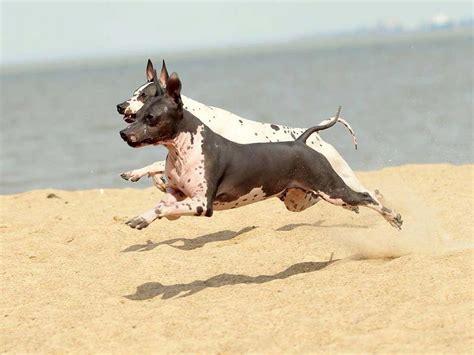 americano pavia terrier americano badia pavese pv allevamento
