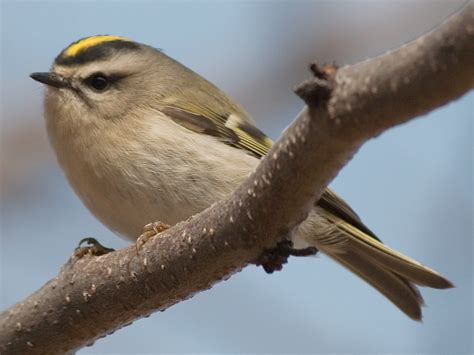 bird with yellow spot on back pictures to pin on pinterest