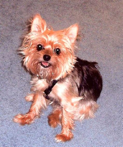 yorkie rescue pittsburgh s web page