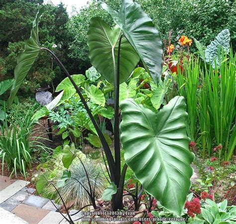 elephant ears colocasia plant care and collection of