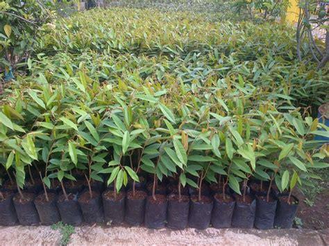 Jual Bibit Durian Merah bibit durian montong bibit durian unggul durian bawor