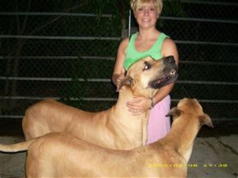 great dane puppies for sale in ga great dane puppies for sale