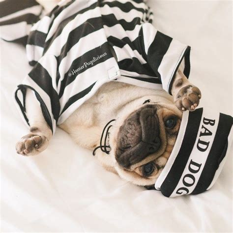 pug costume for humans 17 best ideas about pug costumes on diy costumes