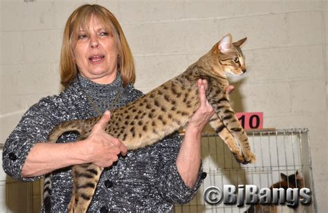 savannah house cat savannah cats look exotic but they re not wild cats paws for reflection