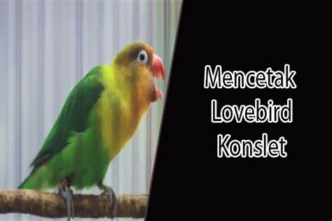 Hipnotis Lovebird By Chan Kicau 6 cara membuat dan mencetak lovebird konslet dalam 1