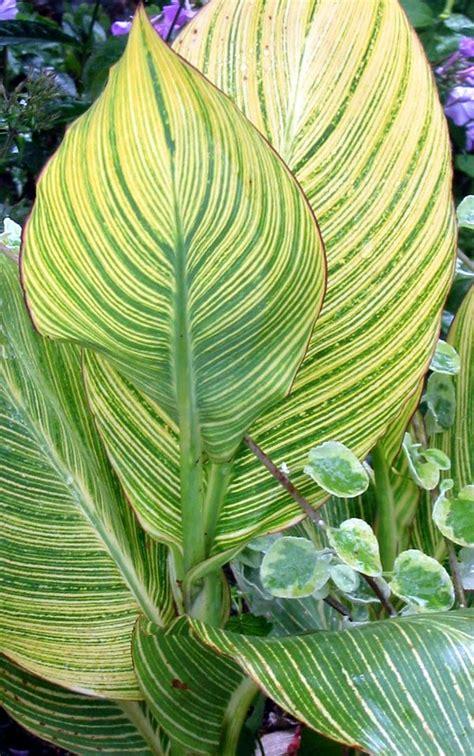 striped bengal tiger canna lily bulb pretoria 4 6ft tall jungle plant predator ebay
