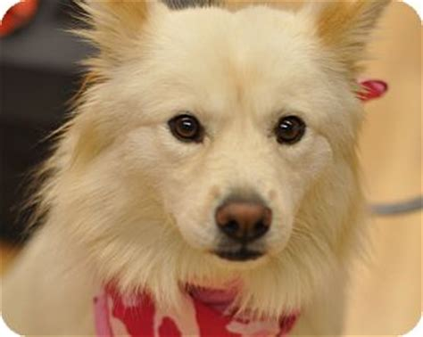 golden retriever american eskimo mix cinderella pending adoption adopted sparta nj