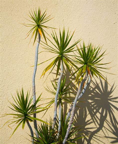 yucca sculpture 6ft hello hello plants garden supplies