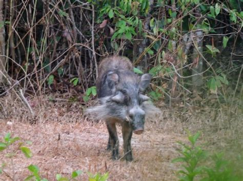ecology conservation and management of pigs and peccaries books 世界初の希少イノシシ動画 もみあげが立派 ナショナルジオグラフィック日本版サイト
