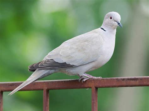 Garden Birds by Common Garden Birds Saga