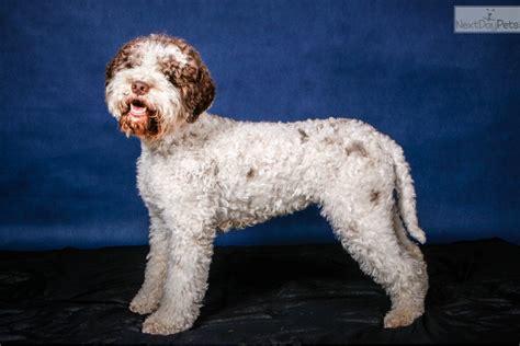 lagotto romagnolo puppies for sale near me lagotto romagnolo puppy for sale near prague republic 5887762c b711