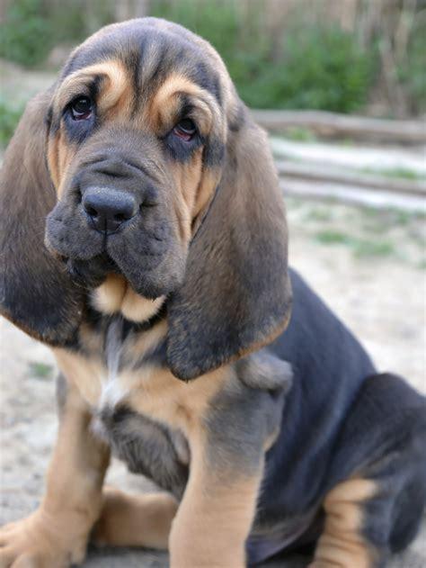 bloodhound puppies about the breed bloodhound k9 trainer school