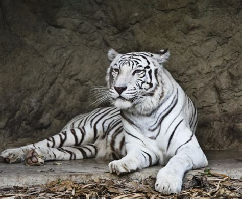 imagenes de tigres de bengala el tigre de bengala related keywords el tigre de bengala