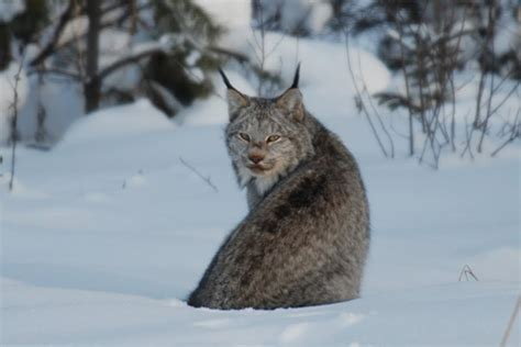 canadian snow lynx canada lynx the life of animals