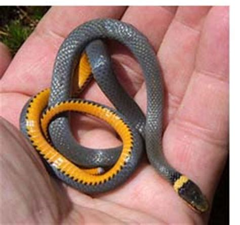 ringneck snake nongame new hshire fish and