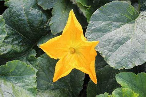 fiori di zucca pianta fiori di zucca propriet 224 calorie e come cucinarli al