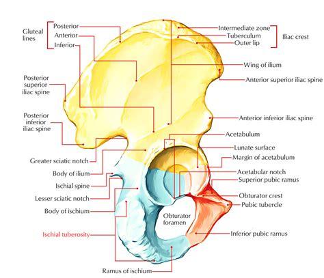 iliac crest diagram ischial tuberosity