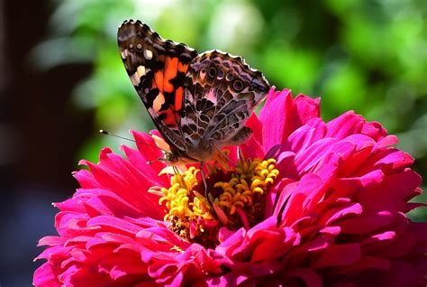 painted lady butterflies     front range