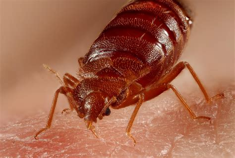 what are bed bugs attracted to bed bugs attracted to dirty laundry study finds