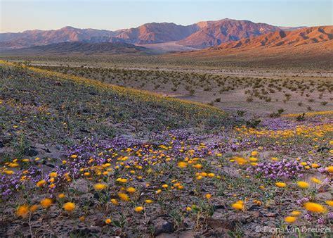 california desert flowers california desert flowers southwestdesertlover