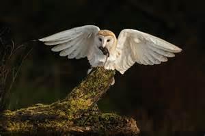 barn owl photographs of barn owls