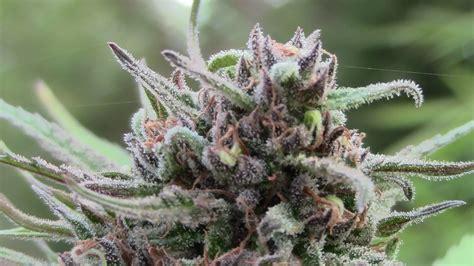 imagenes perronas de mota marihuana el gran enga 241 o nostromoatierra