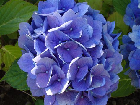 Hydrangea by File Purple Hydrangea Jpg Wikimedia Commons