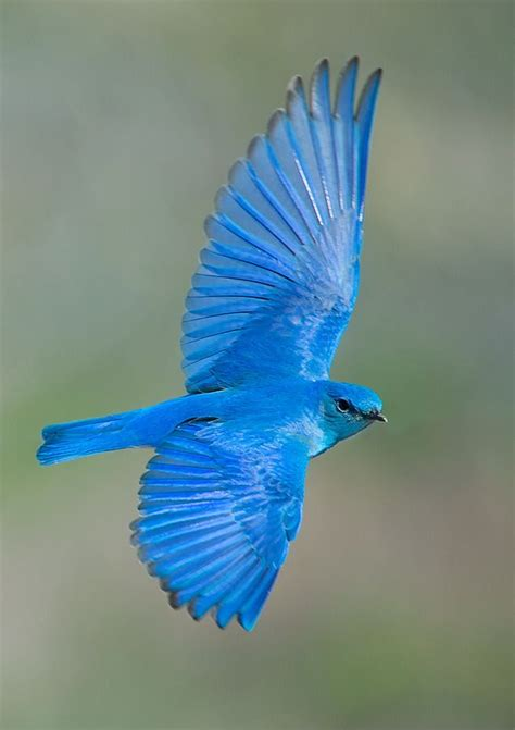 best 25 bluebirds ideas on pinterest beautiful birds