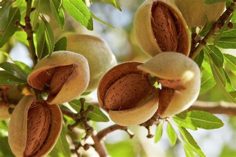 Almond Almond Almonds A Handful Can Make A Difference A Versatile
