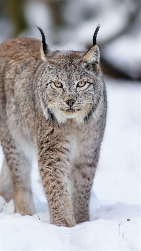 canadian snow lynx lynx wolf cat snow winter ty neusa fujimoto