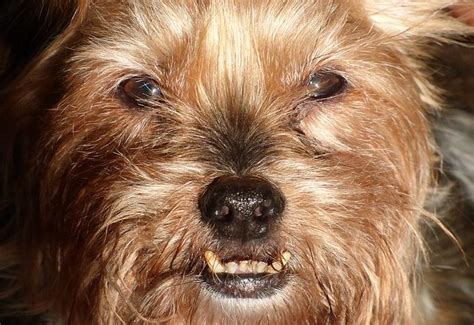 yorkie baby teeth here are the five breeds genetically prone to dental diseases urdogs