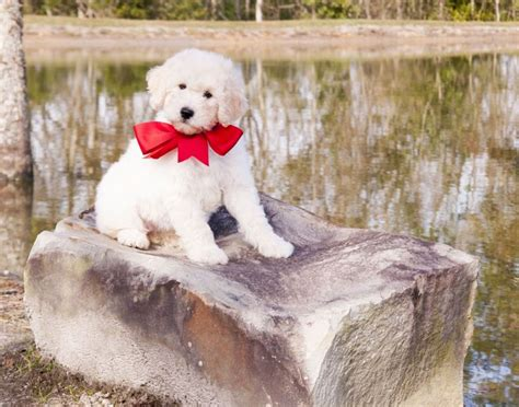 goldendoodle puppy phases 1000 images about teddy goldendoodles on