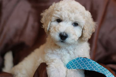 Mini Goldendoodle Puppies For Adoption San Diego