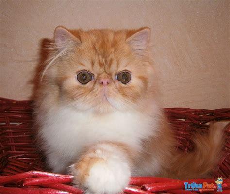 foto gatti persiani cuccioli cuccioli persiani in vendita a bardonecchia to