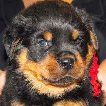 free rottweilers to home free to home rottweiler puppies dogs in our photo