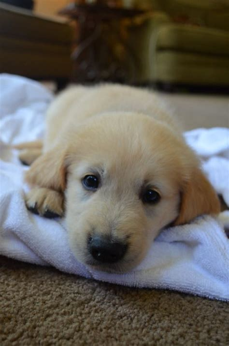looking for a golden retriever puppy to adopt 593 best golden retrievers images on golden