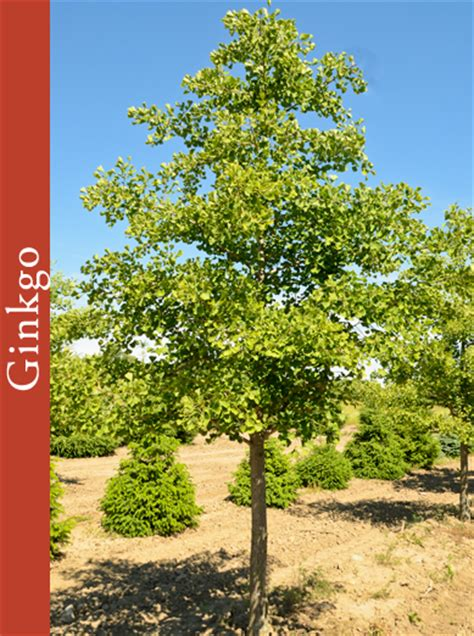 beveridge tree farms ginkgo trees