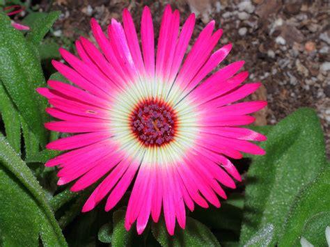 imagenes de flores multicolores fotos de mesembryanthemum o margaritas de livingstone