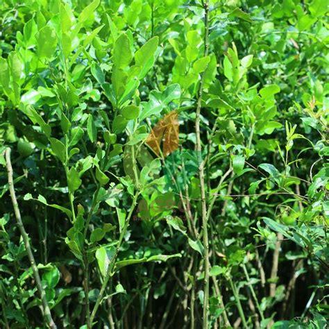 Bibit Tanaman Jeruk Purut jual bibit daun jeruk purut biji 30 cm