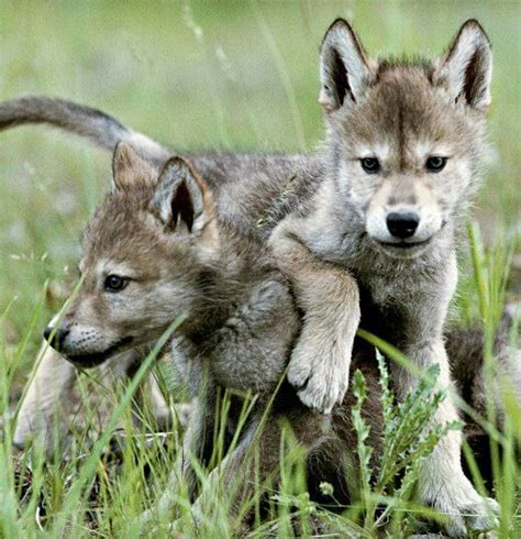 buy wolf puppies 178 best wolves images on