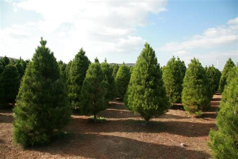 how to pick a good christmas tree raise your garden
