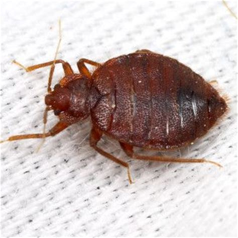 found one bed bug bed bug found in indianapolis action pest s pest library pinterest
