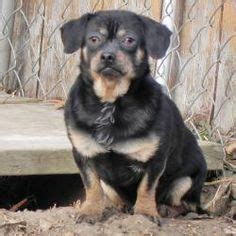 chihuahua rottweiler mix puppies pics for gt chihuahua rottweiler mix