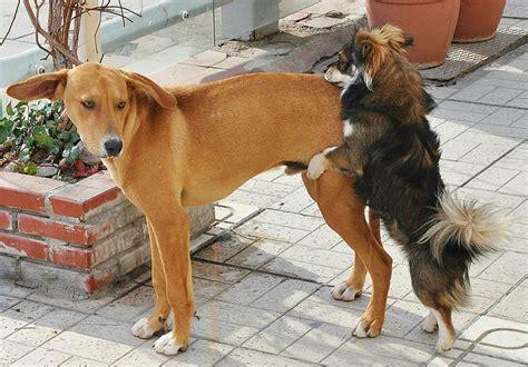 relato sexual marido y perro montan mujer porque un perro macho monta a otro macho petdarling