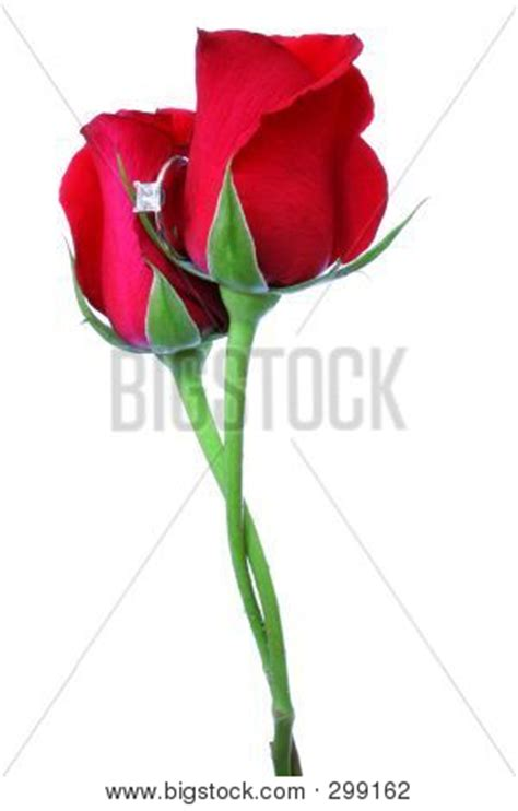 roses intertwined stock photo stock images bigstock